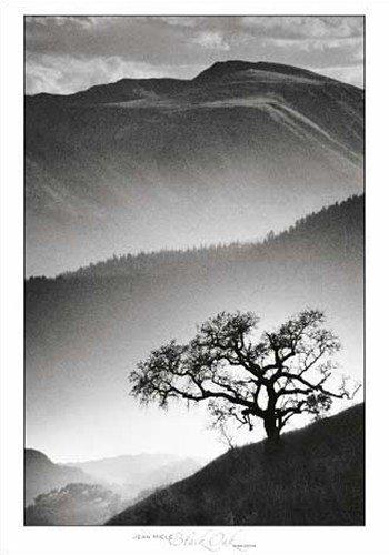 Black Oak - Poster By Jean Miele (27.5 X 39.5)