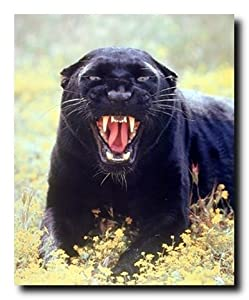 Amazon.com: Snarling Black Panther (Leopard) Wildlife ...