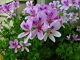 Sweet Mimosa Scented Leaf Geranium - Sweet Fragrance - Inside/Out -4