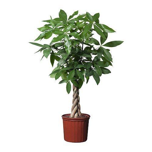 easy-care-plaited-money-tree-pachira-aquatica-elegant-decorative-indoor-tree-virtually-kill-proof-id