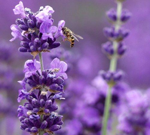 Lavender-Munstead-Herb-Perennial