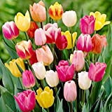60 Days of Tulips Mixture!! 50 Tulip Bulbs - Tulipa Triumph