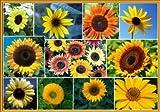 David's Garden Seeds Sunflower Sunny Mix D117DE (Mixed Colors) 100 Heirloom Seeds by David's Garden Seeds