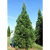 1 STARTER PLANT of Cryptomeria japonica Radicans - Gallon