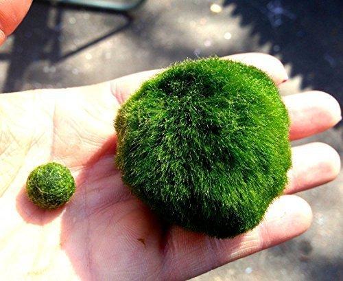marimo-mooskugel-38-x-5-cm-inkl-1-kleinen-kugel-zierpflanze-fur-aquarien