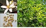 Seedstores : Sacred Aegle Marmelos , Koovalam , Bael , Vilvam, Bela or Sivadruma Tree 5 Seeds for Growing