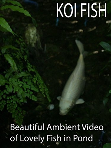 Koi Fish Beautiful Ambient Video of Lovely Fish in Pond
