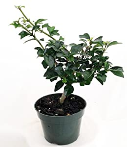 'Ching-Chai' Pre Bonsai Tree - Gmelina philippensis - 4