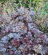 Purple Coral Bells 30 Seeds-Heuchera - Shade Perennial