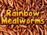 500ct Live Mealworms, Reptile, Blue B...