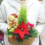クリスマスを感じさせる花の寄せ鉢 赤いポインセチアとゴールドクレスト・シクラメンの鉢植えをバスケットにアレンジ お祝い 誕生日