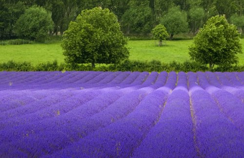 Lavender Common English BULK 5,000 Seeds Nice Garden Flower cambridge young learners english flyers 5 answer booklet