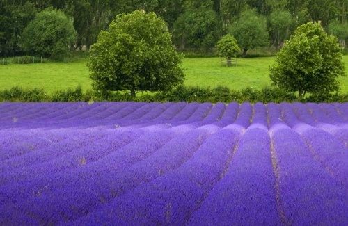 Lavender Common English BULK 5,000 Seeds Nice Garden Flower hag seed