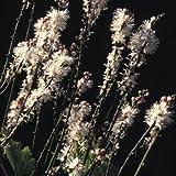 Cimicifuga Simplex Seeds