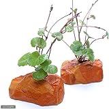 (水草)アマゾンチドメグサ(水上葉) ゼオライト付(無農薬)(1個) 本州・四国限定[生体]