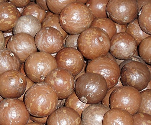 special-macadamia-integrifolia-macadamia-nut-tree-rare-tropical-plant-tree-seeds-4-seeds