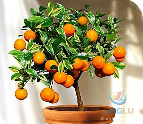 mrseeds-calamondin-seeds-miniature-citrus-100-seeds-tangy-fruit-orange-seeds-showy-houseplant-fabulo