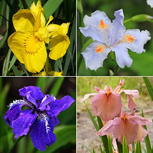 Mixture Colors Iris Flower Seeds Garden Balcony Perennial Herb Ornamental Plant 100pcs (Snoop Dog Pen Herbal Vaporizer compare prices)