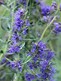 Blue Hyssop garden border herb plant pink flowers summer loved by bees 9cm pot FREE DELIVERY