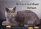 Britisch Kurzhaar Katzen (Wandkalender 2017 DIN A2 quer): BKH Katzen (Monatskalender, 14 Seiten ) (CALVENDO Tiere)