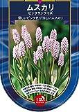 【Autumn Bulb】Muscari Pink Sunrise ムスカリ・ピンク・サンライズ (1球×1袋・10%OFF)