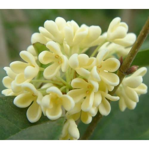 "Amazon.com : 9GreenBox - Sweet Olive Tree Osmanthus - 2 Pack of 4"" Pot"