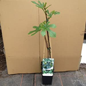 Large Fig Tree Ficus Carica Approximately 50cm Tall In
