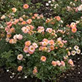 OSO EASY Strawberry Crush Rose - Creamy Pink - Proven Winners