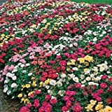 Moss Rose - Mix - 5000 Seeds