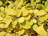 'Aurea Nana' Barberry - Berberis - 4