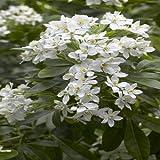 Choisya ternata - 1 shrub