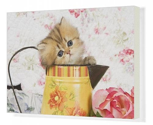 Canvas Print Of Cat - Golden Shaded Persian Kitten In Water Jug front-1074525