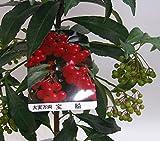 【 花想久里 はなおくり 万両 鉢 生 】 お正月 に 縁起のいい 赤い実の マンリョウ 御歳暮 フラワーギフト ご自宅用 にも 人気 鉢植え