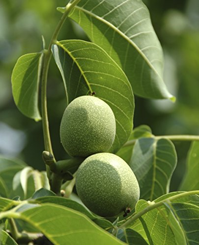 english-walnut-fruit-tree-1-2ft-tall-grow-your-own-healthy-nuts-juglans-regia
