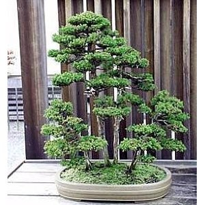 Redwood Bonsai Tree Rare And True Dawn Redwood Trees