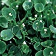 Outsidepride Winter Purslane - 5000 Seeds