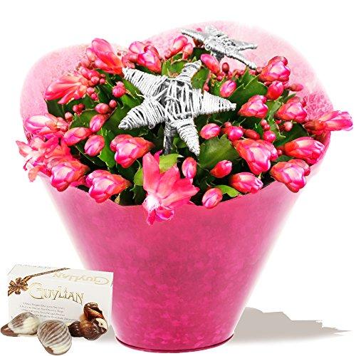 christmas-cracker-flowering-plant-gift-christmas-cacti-and-flowering-plants-by-eden4flowers