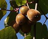 Jenny Kiwi selbstfruchtbar