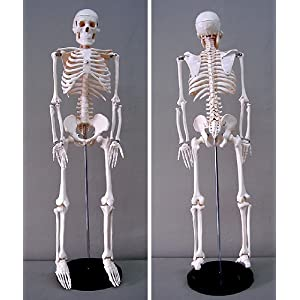 Amazon.com - Jack Richeson Skeleton Model, Medium - Human