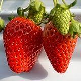信州大芝高原・水耕ハウス栽培 大粒いちご2L 4パック ランキングお取り寄せ