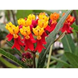 Emeralds TM Milkweed Butterfly Garden Asclepias Red Plant 4 Inch Pot