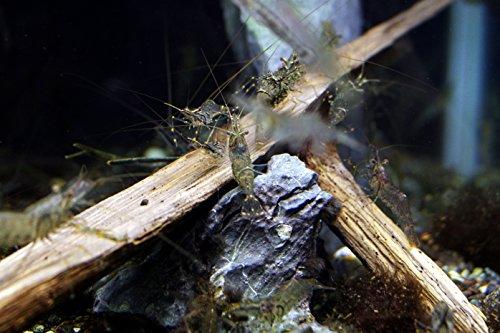 テナガエビ ベビー 5尾セット
