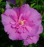 Lavender ChiffonTM Hibiscus syriacus 'Notwoodone' - Rose of Sharon-Proven Winners