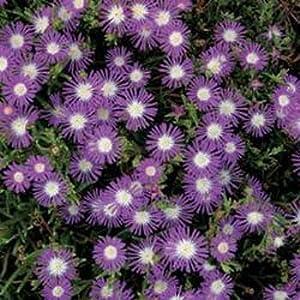 Outsidepride Ice Plant Stardust - 1000 Seeds