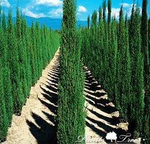 cupressus sempervirens totem pole totem cypress 250. Black Bedroom Furniture Sets. Home Design Ideas