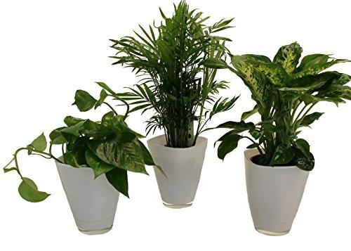 pflanzenservice-891146-tropic-trio-efeutute-zimmerpalme-mit-dieffenbachia-und-dekotopf-weiss