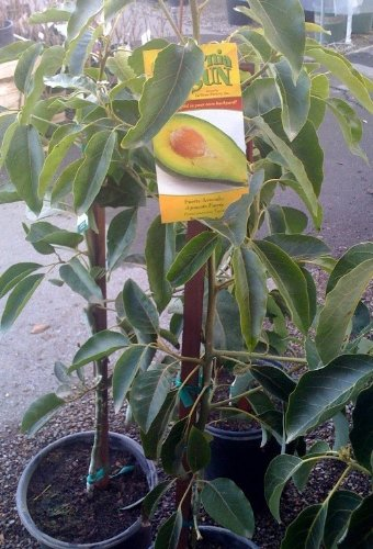 fuerte-avocado-tree-will-arrive-between-3-and-4-feet-tall