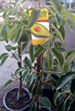 Fuerte Avocado Tree--Will Arrive Between 3 and 4 Feet Tall