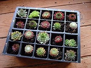 A Collection of 20 Sempervivum Plants
