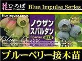 ブルーベリー 苗 スパルタン ノーザンハイブッシュ系3年生 接ぎ木大苗 ブルーベリー苗【ブルーインパルス】 blueberry